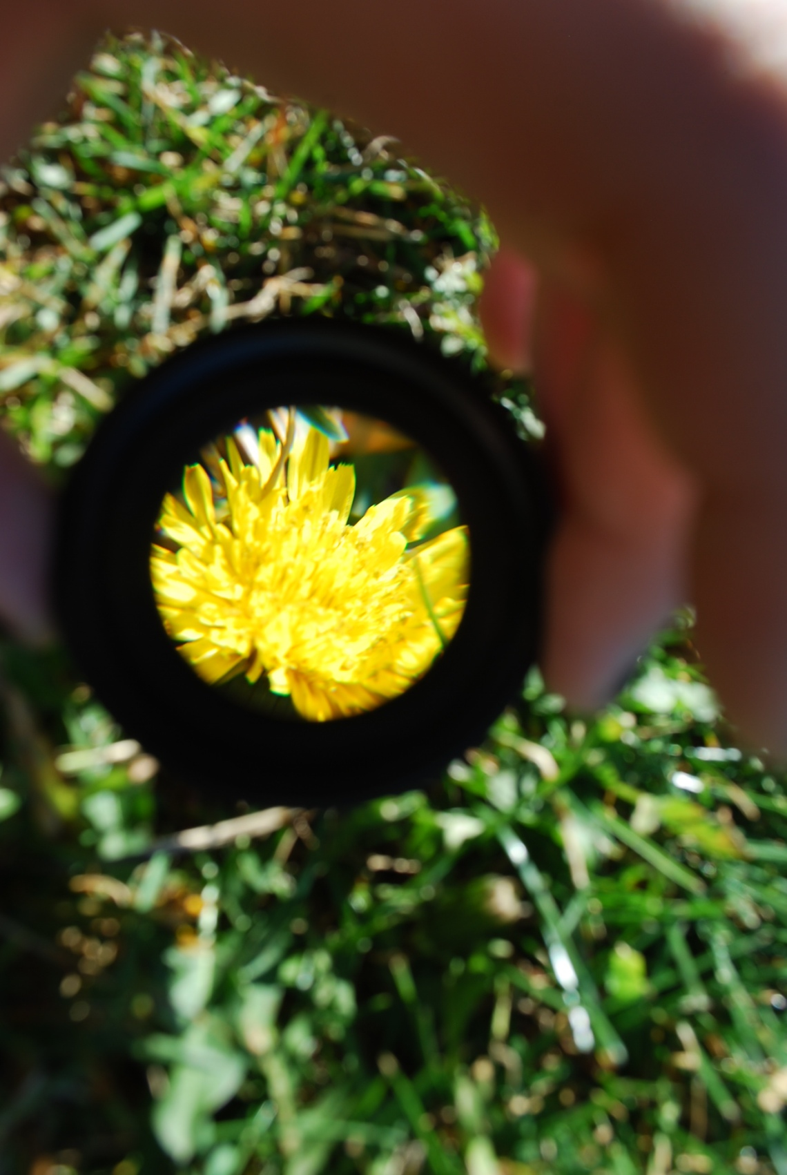 Through the Looking Glass- Dandelion