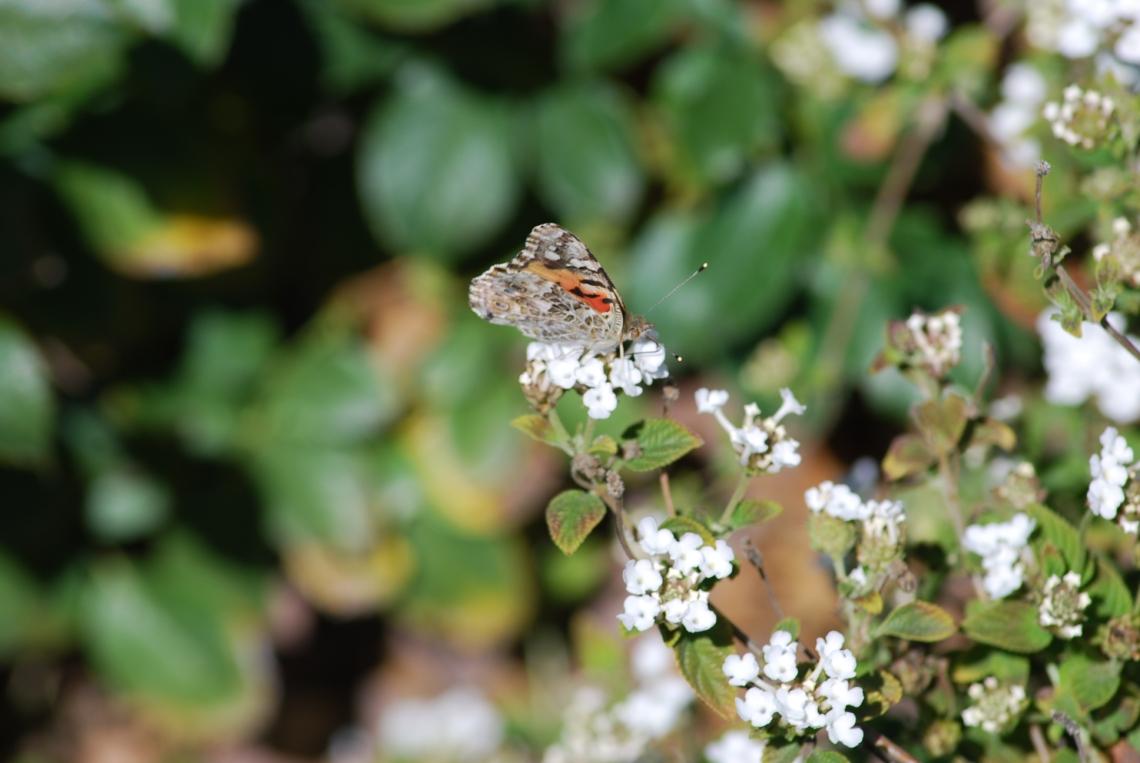 Tiger-Cheetah Butterfly