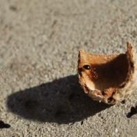 Ants on an Acorn