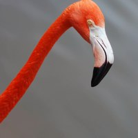 Bowing Flamingo